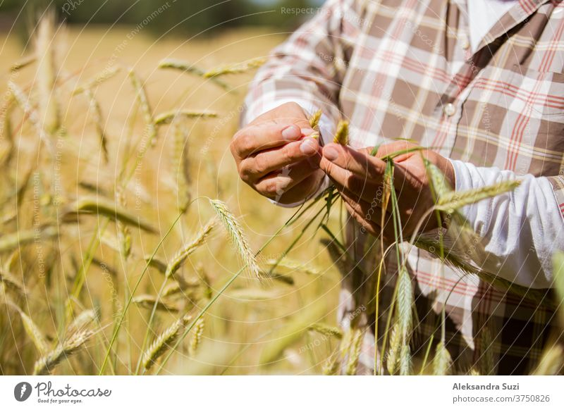 An agronomist checking the quality of grain standing in the middle of a rye field agribusiness agricultural agriculture agronomy cereals country countryside