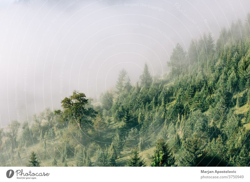 Misty pine tree forest in the mountains in early morning adventure background beautiful cloud clouds dawn ecology ecosystem environment evergreen explore fog