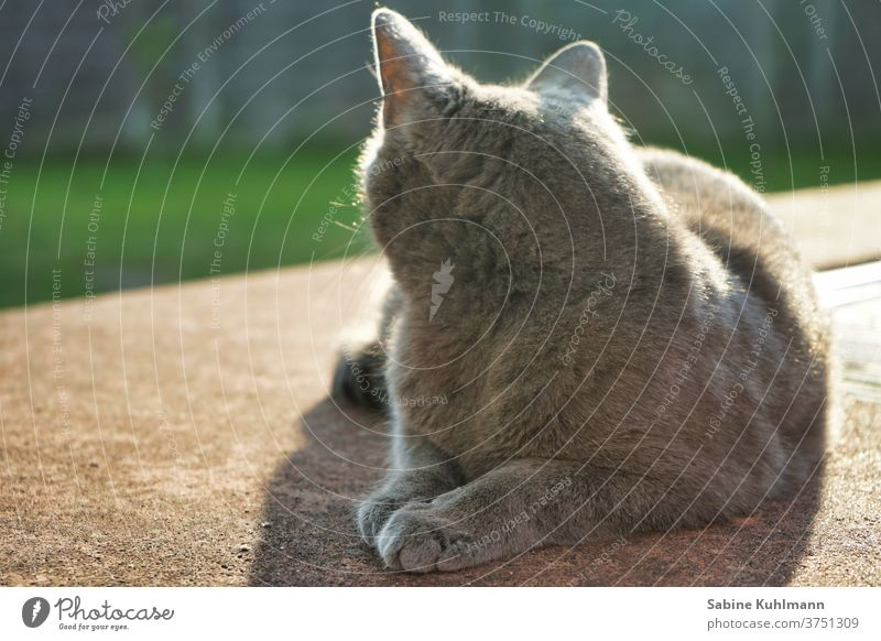 cat's life Cat from behind One animal pets feline Pelt Copy Space Outdoors Garden Gray Back-light Cat lover Animal Love of animals
