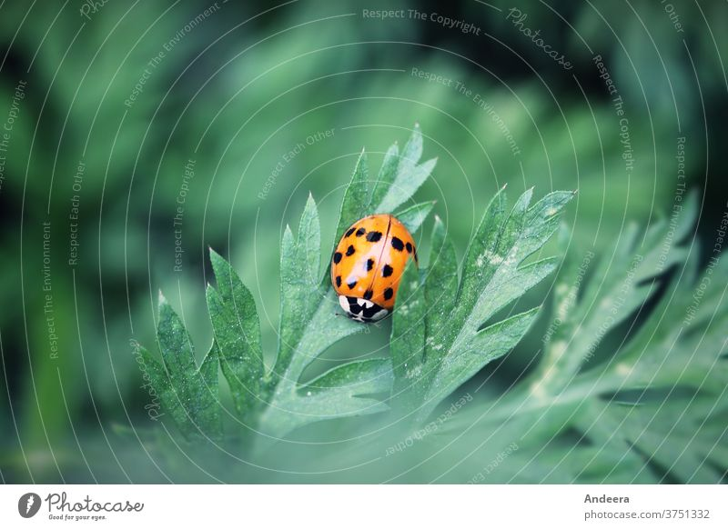 Small red beetle on green leaf Beetle Nature Environment Sustainability Insect flaked Garden out Point Animal fauna flora figures Ladybird Red Exterior shot