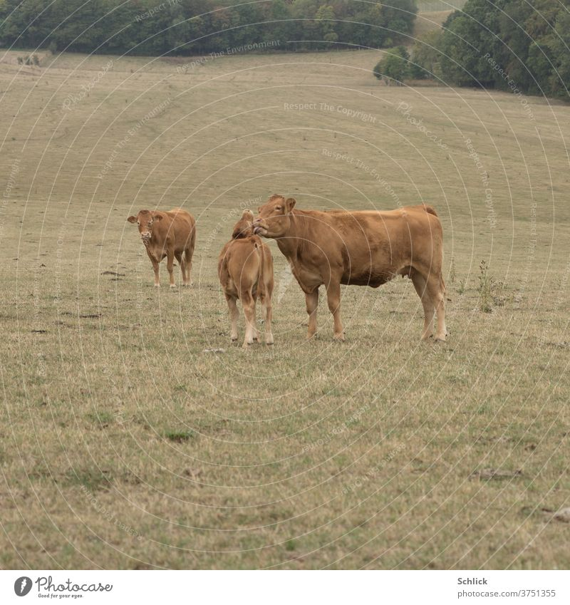 Mother love Love between cow and calf chill Calf Motherly love tenderness Willow tree lick Body contact Dry aridity Affection Grass 3 Limousine Pastureland