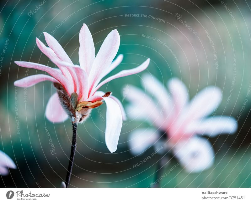spring April botanical Environment Lovely magnolia heyday bleed Bud Nature flowers already Beauty & Beauty Colour Garden Fresh Summer natural Floral Growth
