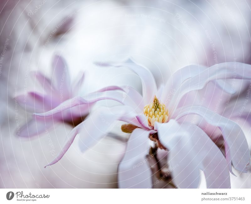 magnolia Magnolia blossom Magnolia tree Magnolia plants spring Spring fever herald of spring Spring colours Pink pastel shades Outdoors Sky Bright tranquillity