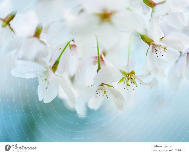 White cherry blossoms Cherry blossom Cherry tree Neutral Background Close-up Exterior shot Colour photo Ease Blossoming Fragrance Spring fever Park Garden Twig