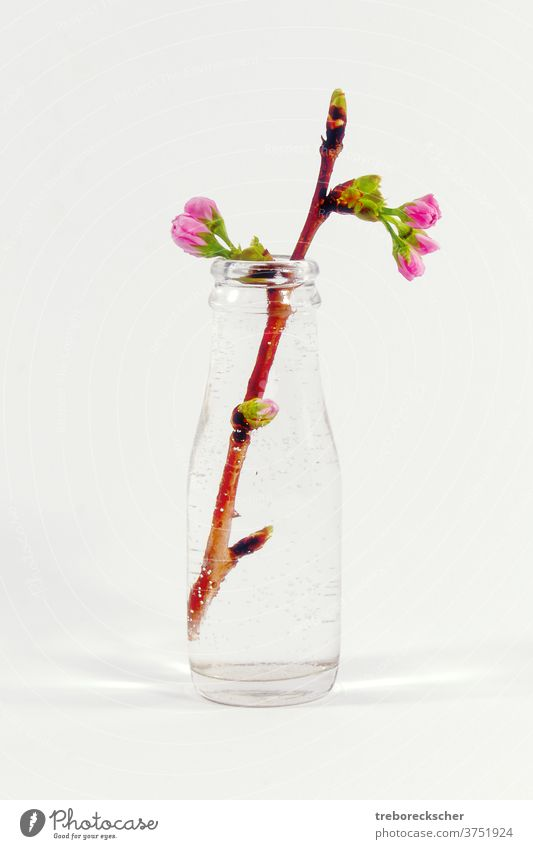 Glass bottle with a plum tree branch white glass water petal beautiful blossom nature closeup spring background plant beauty season macro color green growth