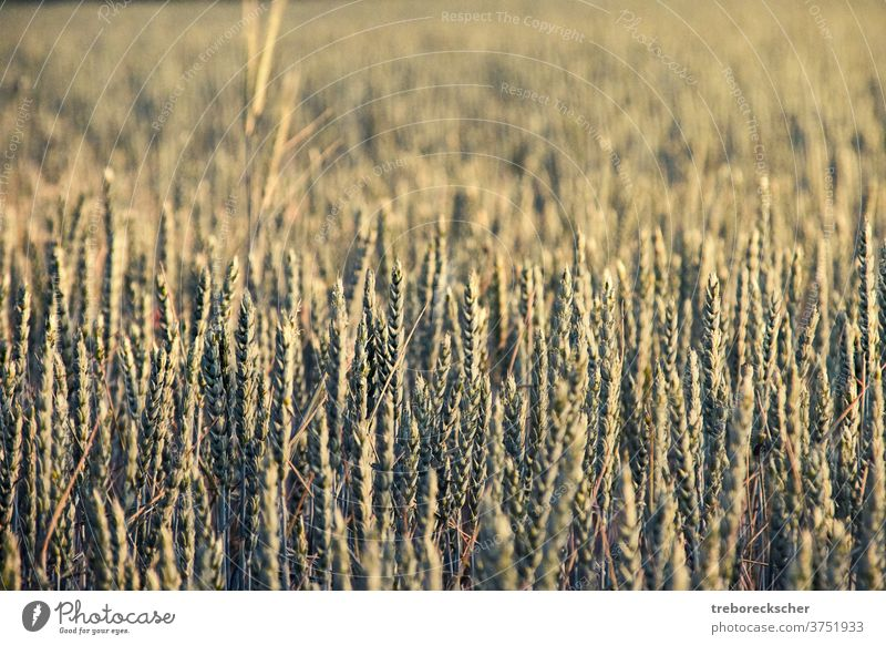 Wheat ears in sunlight wheat field nature farm agriculture rural plant structure cereal summer countryside growth land yellow seed natural grain corn scene