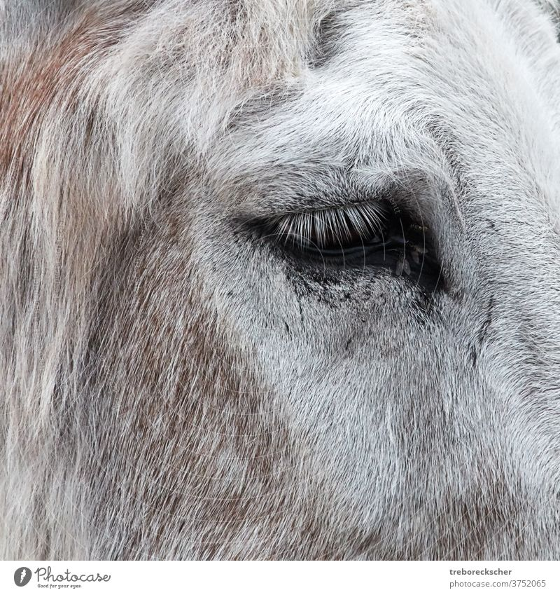 Eye of a donkey with flies head isolated farm mammal white mule background face cute nature portrait domestic design brown horse cartoon burro style funny