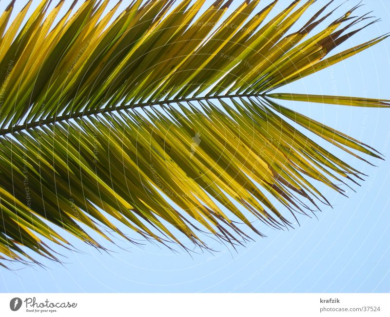 palm fronds Palm tree Plant Summer Vacation & Travel