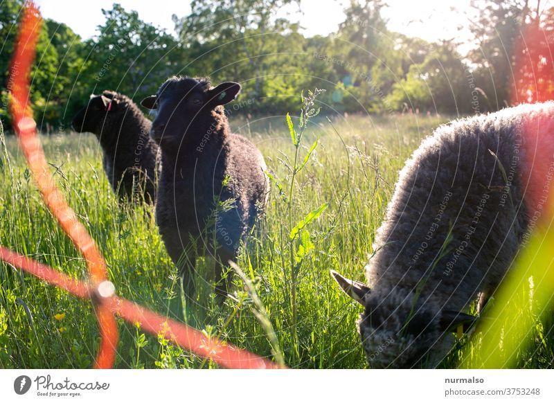 Sheep in the morning Animal Herd Wool Nature stream Fence electric fence Meadow ears fluffy Sustainability three Shepherd sit up and take notice To feed