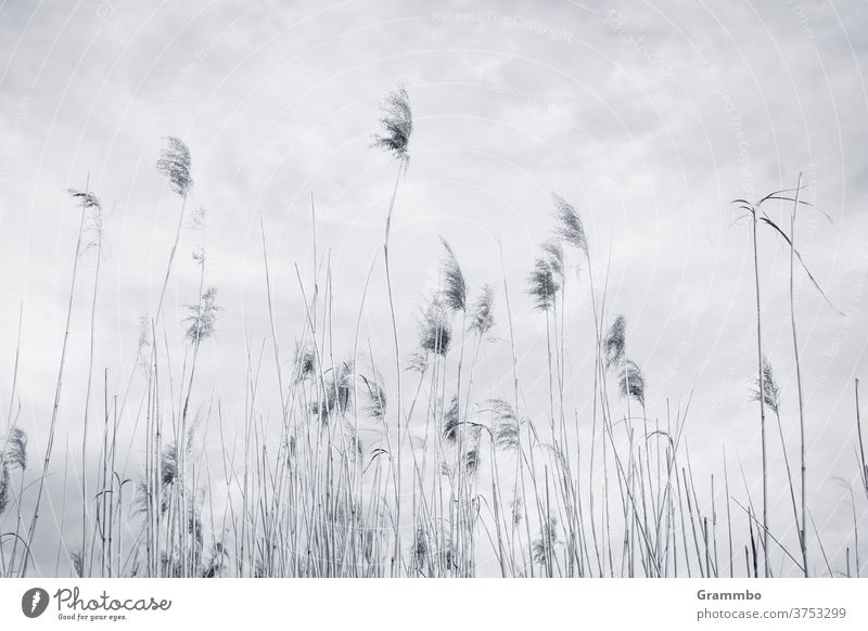 Sky full of reeds Common Reed reed stalk reed grass Deserted Exterior shot Grass Environment Day Plant Landscape Nature