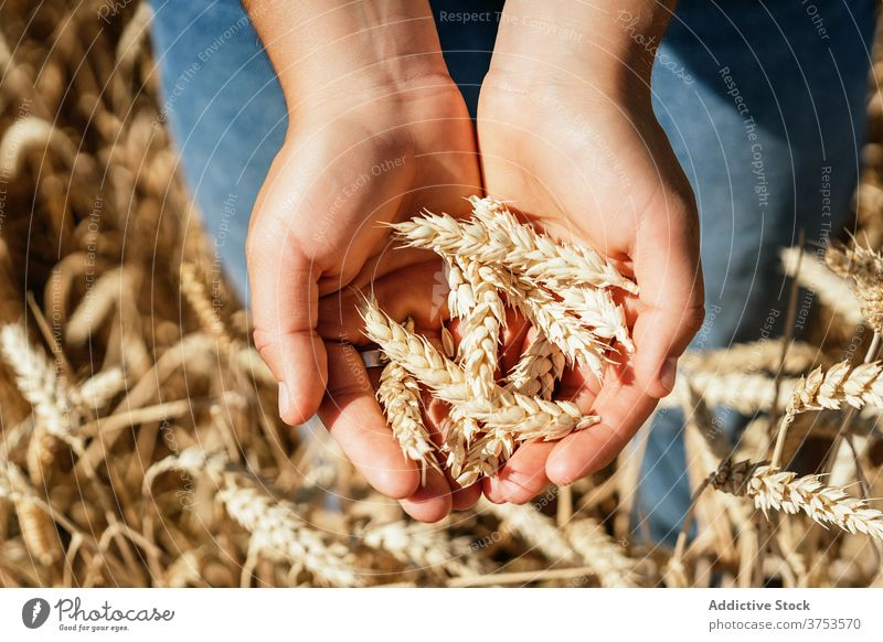 Crop woman in wheat field in summer harvest spikelet agriculture countryside agronomy golden farm female sunny rural daytime sit peaceful dried dry sunlight