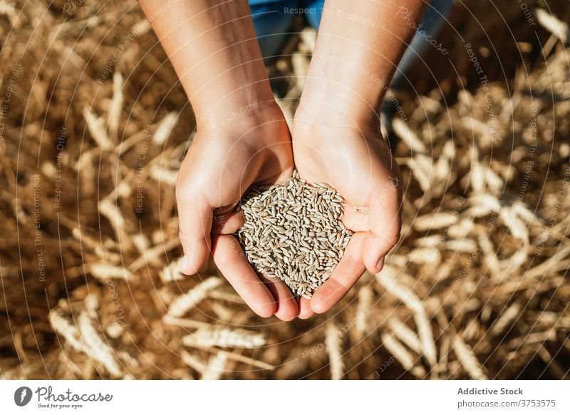 Crop woman with wheat grain in countryside hold field farmer golden cereal seed rural female agriculture harvest cultivate fresh organic natural plant stand