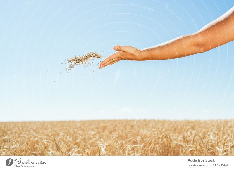 Anonymous woman with wheat grain in field countryside village agriculture toss cereal female summer meadow idyllic season cultivate sunny plant happy daytime