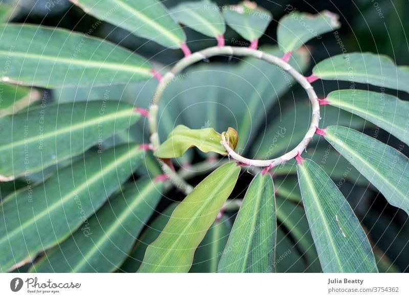 spiraling plant vine with green leaves and pink stems leaf tropical rare greenhouse conservatory Nature Growth Close-up Exotic Garden Fresh Natural beautiful