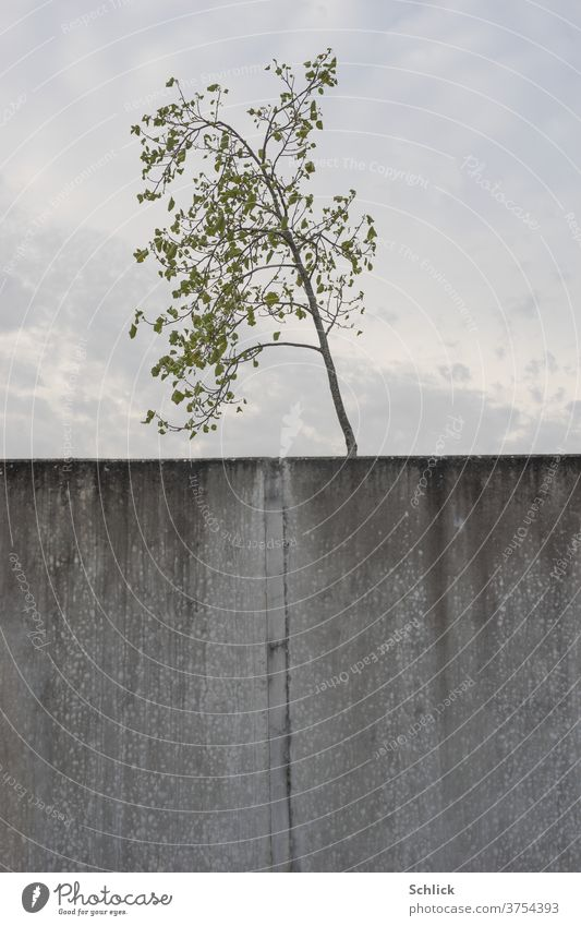 Young tree in front of the sky and in the foreground desolate concrete wall with expansion joint youthful Concrete wall Sky cloudy halved divided leaves