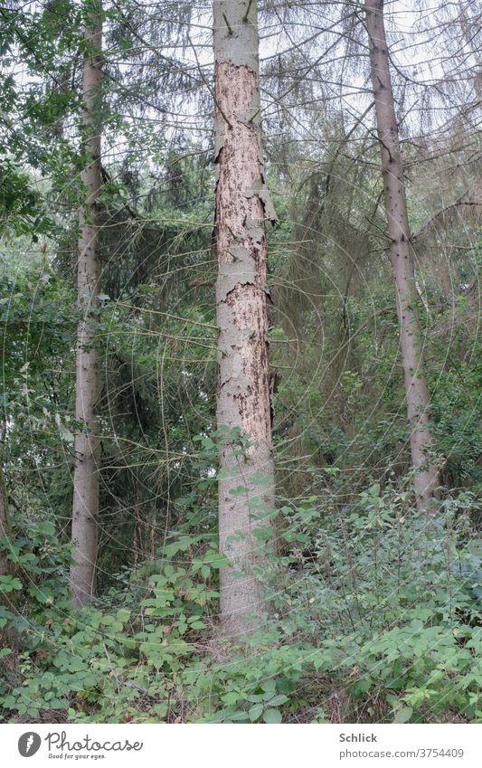 Larch dead by pests tree Bark-beetle Tree trunk damages dead tree Forest Stars Climate change ecology bark Coniferous trees Blackberry bramble bush