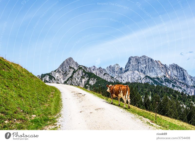 View of the Litzlalm with cow in Austria chill Alps mountain tree Forest savage emperor Landscape Nature Alpine pasture off Street Meadow Grass Agriculture