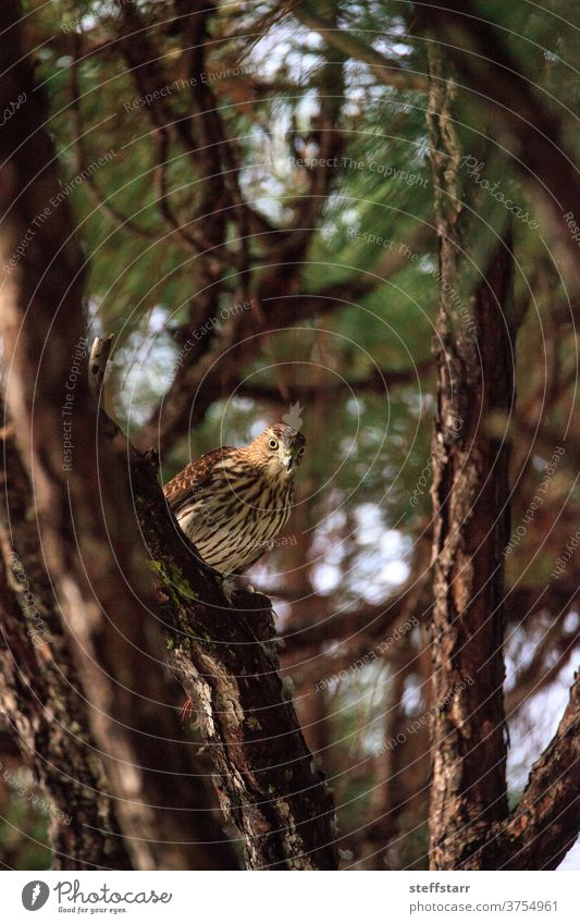 Juvenile light morph Red-tailed hawk Buteo jamaicensis eats a blue jay Bird raptor red-tailed hawk bird of prey redtailed hawk juvenile hunting eating predator
