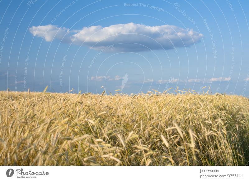 Golden yellow wheat field against cloud on blue sky Grain field Wheat Wheatfield Agriculture Sunlight Hover Clouds Beautiful weather Ease Nature Sky Climate