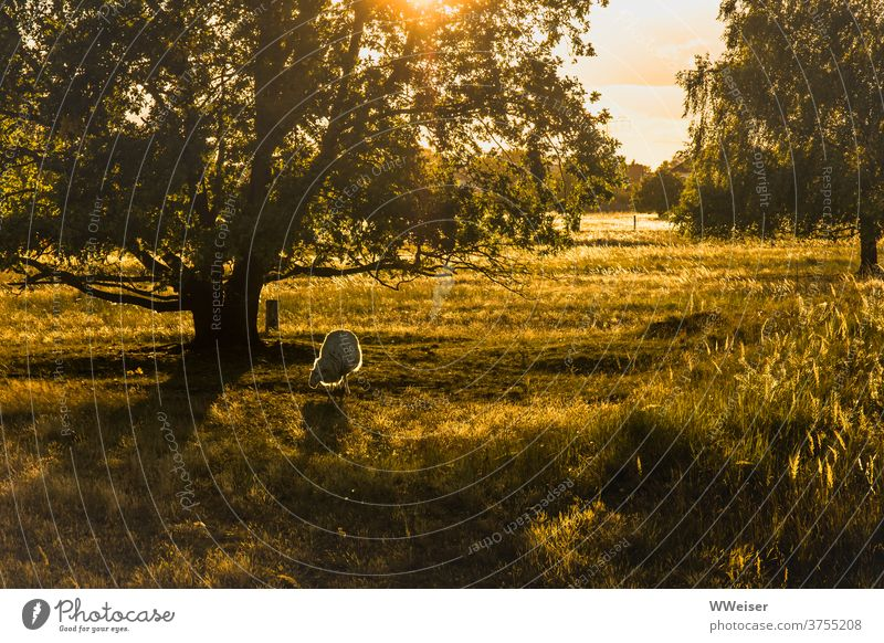 Once upon a time... a happy sheep in the evening sun Sheep Sun Evening sun Light Meadow Tree Nature Back-light golden warm rays Illuminate grasses Green
