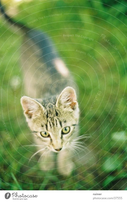 Sharp kitten Cat Domestic cat Grass Meadow Green Bird's-eye view Blur Depth of field Eyes