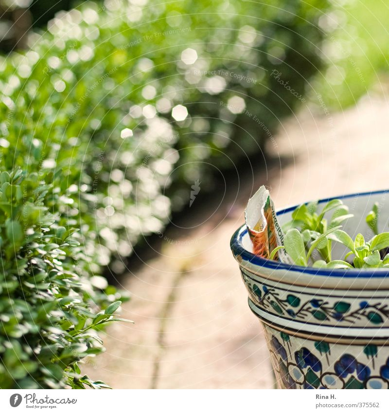 patience Garden Spring Summer Beautiful weather Plant Authentic Green Joie de vivre (Vitality) Gardening Seedlings Flowerpot Hedge Box tree Colour photo