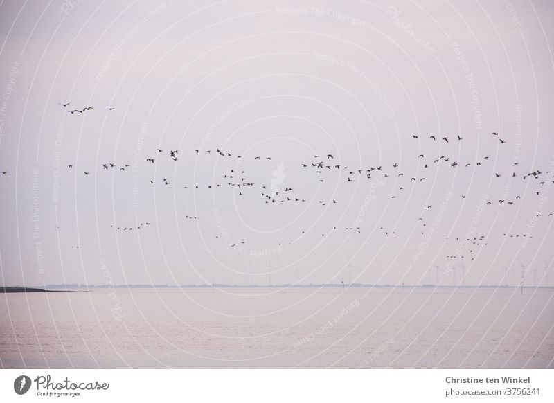 dynamic | a large flock of wild geese over the North Sea birds bird migration Flight of the birds Wild animal Wild bird Nature Dynamic Loud chatter shout Animal