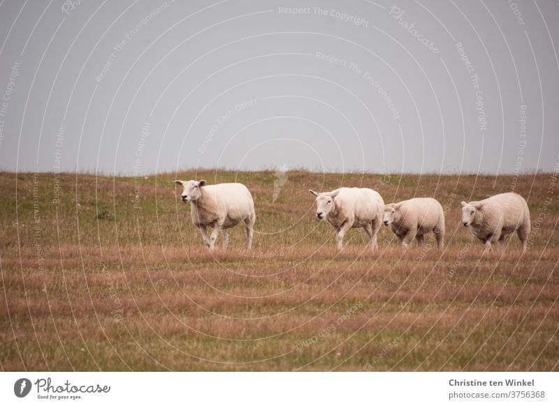 dynamically | but not too hasty the four sheep run along the grass-covered dike Dike Sheep North Sea animals Group of animals Farm animal Flock Landscape Meadow