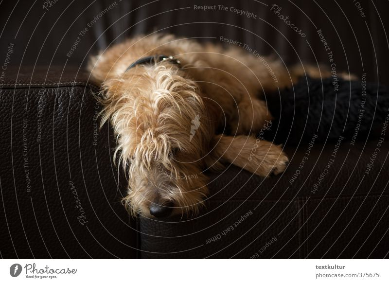 Dog Relaxation Animal Natural Dream Brown Lie Contentment Authentic Living or residing Observe To enjoy Athletic Trust Serene Fatigue
