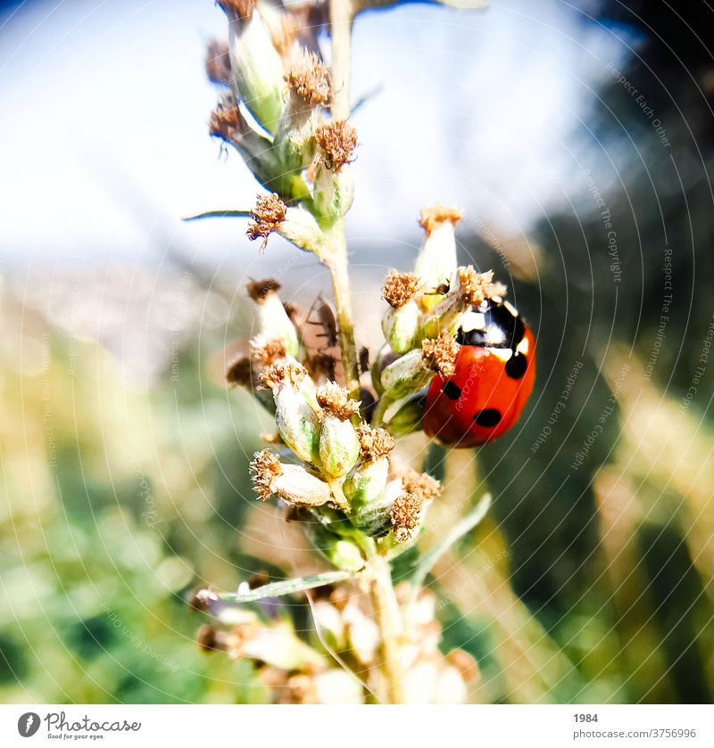 ladybugs Ladybird Insect Beetle Close-up Macro (Extreme close-up) Crawl Exterior shot Red Colour photo luck Good luck charm