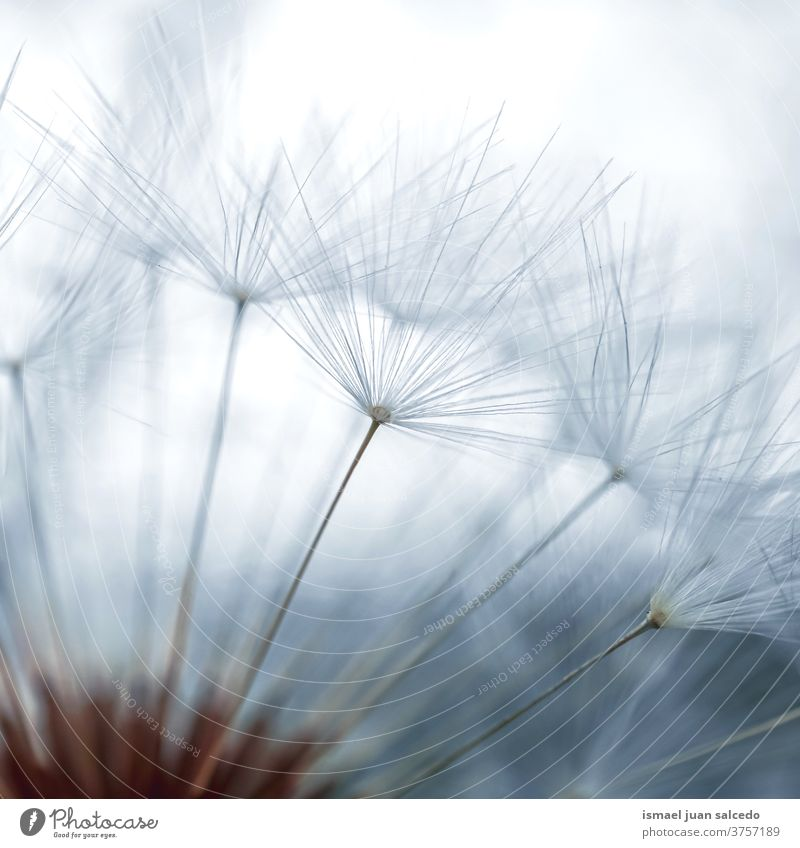 beautiful dandelion flower seed, white background plant blue floral garden nature natural decorative decoration abstract textured soft softness romantic