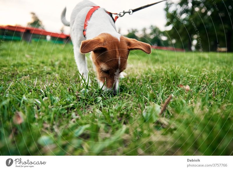 Dog on grass in summer day. Owner walks with dog outdoors play running puppy cute happy pet adorable brown face breed domestic park outside kid doggy animal fun