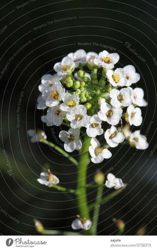 Scented stone with dew drops Scented Stonerich silver cabbage flowers bleed stonewort White Drops of water Nature Plant Close-up Macro (Extreme close-up)