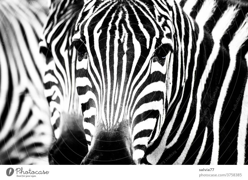 crosswalk Zebra Stripe Zebra crossing Black & white photo White Pattern Mammal Pelt Wild animal Animal Striped Contrast Nature Safari Animal portrait Looking