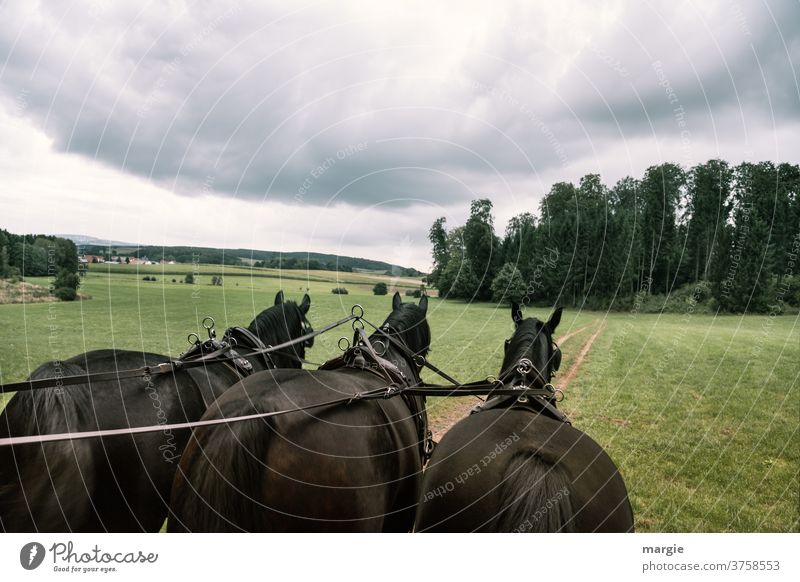 Carriage ride with three horses Coachman carriage Horseback Ponytail Horse-drawn carriage Horse and cart overcast sky Clouds horse group Transport fresh air