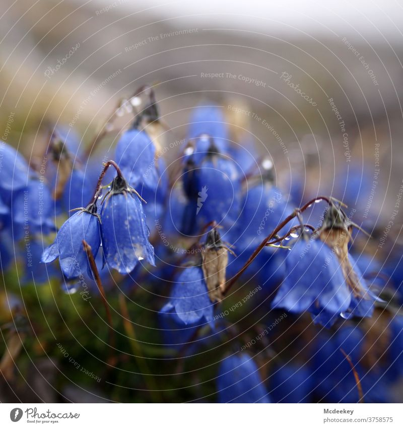 The blue ringing Bluebell Flower Blossom Plant Nature Colour photo Deserted Summer Austria Lünersee region Drops of water purple Purple Flower purple blossom