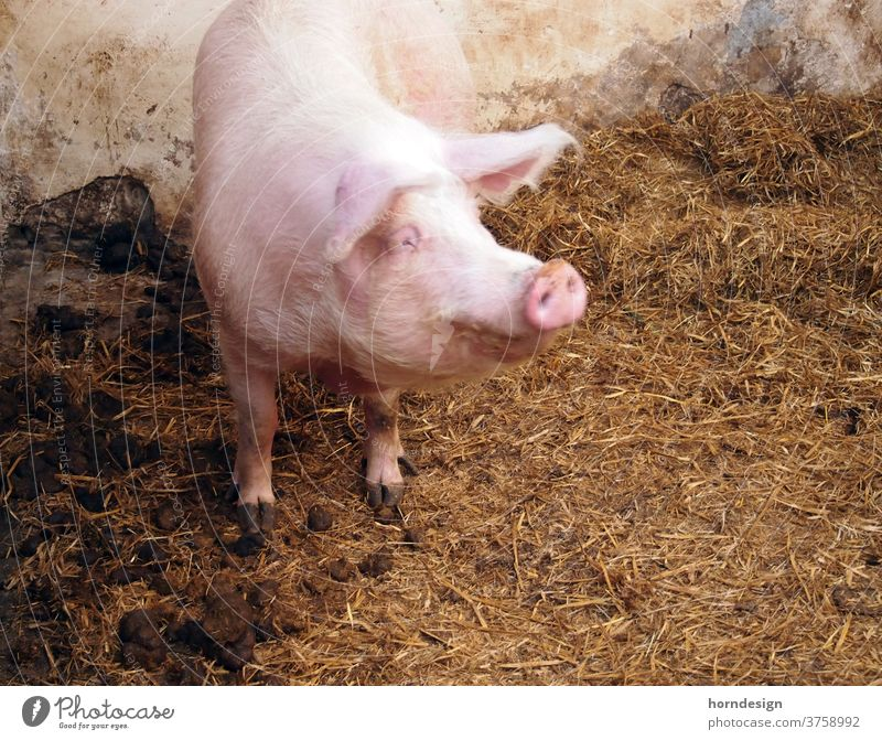 Glückliches Schwein Bauernhof Hausschwein Stall Mist glückliche Tierhaltung Tierwohl Natur Mastschwein Glücksschwein
