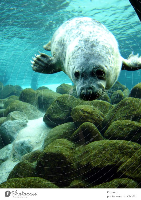 Seal in Action Aquarium Ocean Water Rock Wild animal Animal face Pelt Claw Seals 1 Blue Harbour seal Colour photo Underwater photo Reflection Sunlight