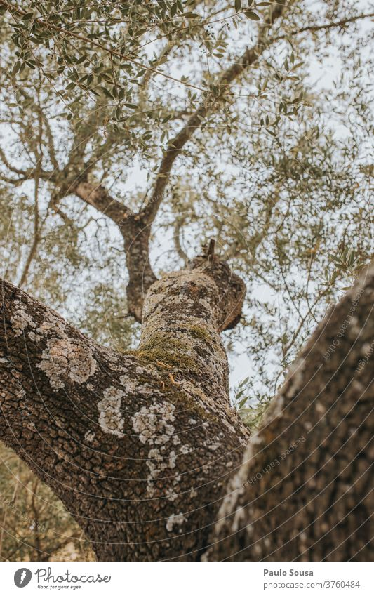 Cork oak tree Oak tree Tree Tree trunk Tree bark Trees Branch Leaf Colour photo Exterior shot Green Environment Nature Plant Sunlight Summer Autumn Twig Forest