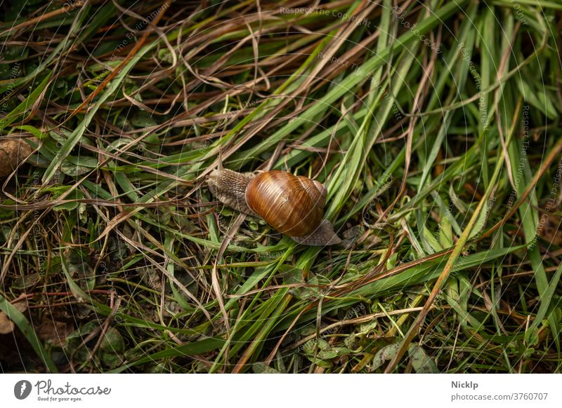 Roman snail in the grass escargot Vineyard snail Crumpet snail shelter Snail shell Cesarean snail helix pomatia helicidae Glittering from on high Feeler grasses