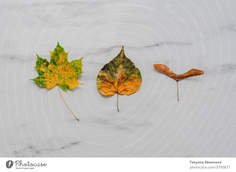 Autumn leaves on marble background autumn fall leaf maple yellow orange season texture brown design plant thanksgiving bright tree composition above flatlay