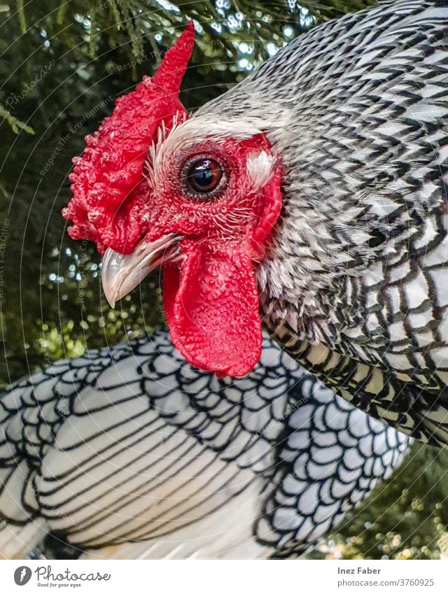 Close-up of a black and white chicken agriculture animal background beak bird close up colorful farm farming feather feathers green hen livestock nature