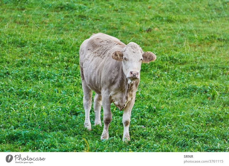 Cow in the Pasture animal cow agricultural agriculture bovine cattle dairy animal domesticated ungulate outdoor pasture land grassland feeding ground leasow
