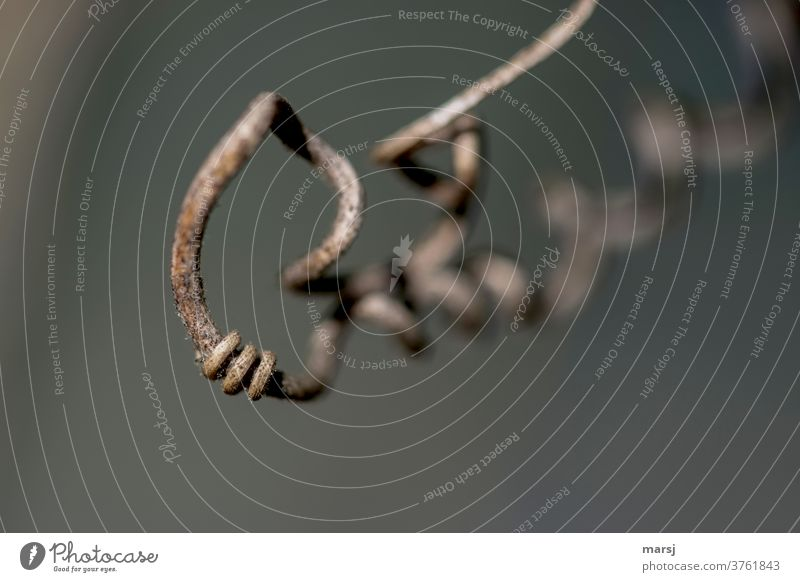Three rings on the curl Part of the plant whorls Spiral Tendril Subdued colour Rotate turning natural Nature Thin shoot tendril remaining light Authentic Plant