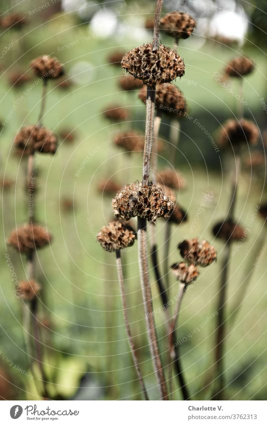 dried flowers Dried flowers Herbaceous plants Shriveled Faded seed pods Plant Nature Autumn Colour photo Shallow depth of field Dry Transience Exterior shot Day