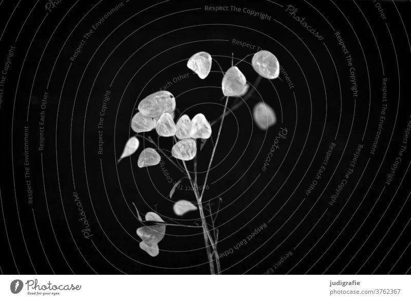 Lunaria with silver leaf lunaria Plant Part of the plant Black & white photo Nature Botany Verdant Silver Delicate Twig Sámen Dry