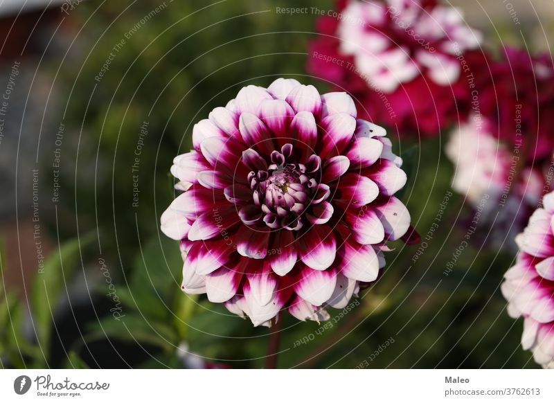 Isolated natural dahlia flower on green background arrangement autumn beautiful beauty bed bloom blooming blossom botany bouquet bright closeup color design