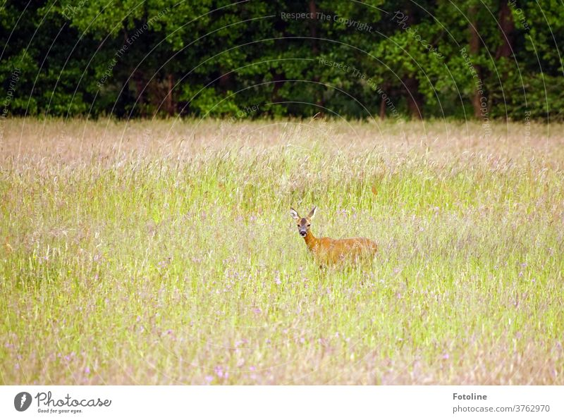 A deer stands in high grass and looks into the camera Wild Wild animal Animal Nature Colour photo Exterior shot 1 Day Environment Deserted natural Plant Grass