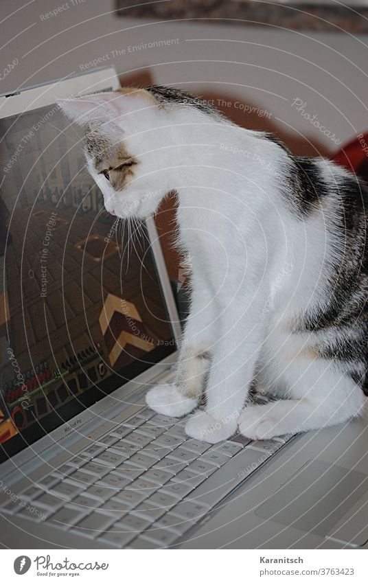 A cat watches the computer screen. Cat Domestic cat Kitten Animal Mammal Pelt Soft cuddly White Striped Sit Observe Computer laptop Keyboard Paw inquisitive