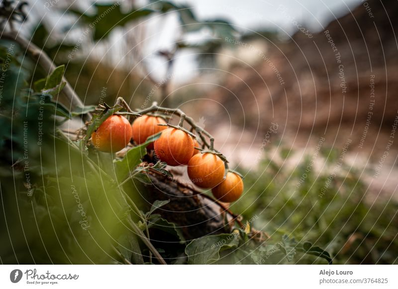 Wild Cherry tomatoes growing next to a hiking path agriculture background branch crop farm food fresh fruit garden green growth harvest healthy leaf natural